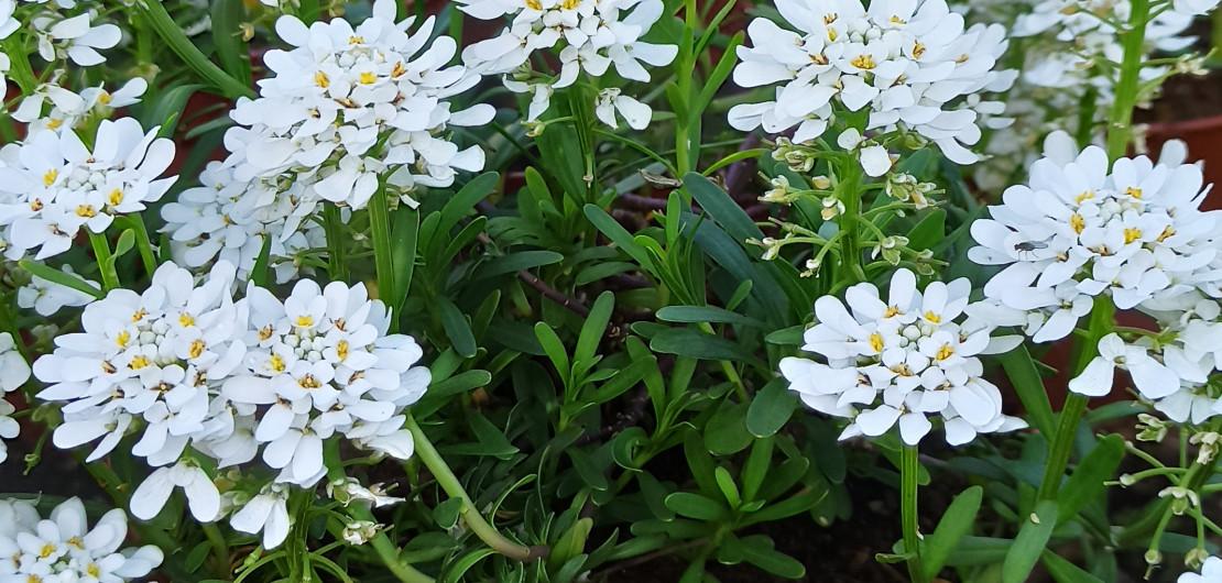 fleurs des pépinières