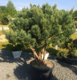 Pinus sylvestris Watereri bonsai (vendu)