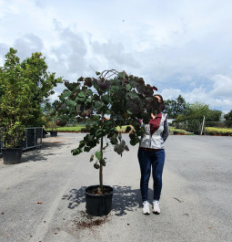 Cercis canadensis Ruby falls C15 tigette (17)