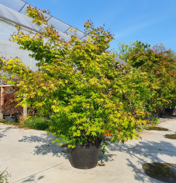 Acer palmatum Orange Dream C45 175/200 (2)