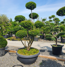 Taxus baccata Media pompoms coupe (63)